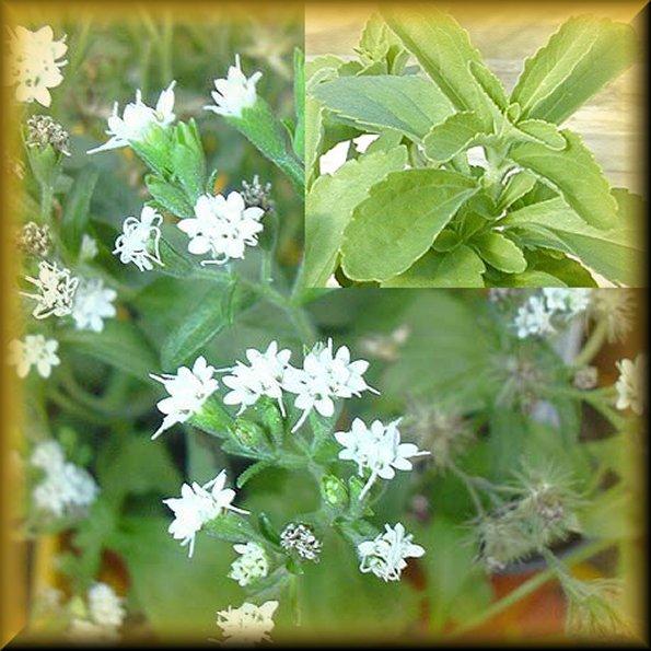 Stevia for Stevia pianta