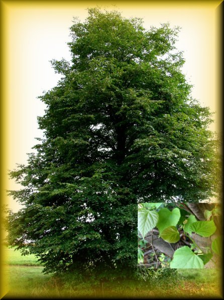 Tilia l tiglio selvatico for Tiglio albero