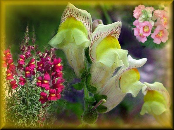Antirrhinum for Bocca di leone in vaso